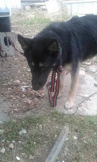 Βρέθηκε στην Πετρουπολη θηλυκο μικρο σκυλάκι, φοραει μαυρο δερματινο λουρι και πρασινο για τα τσιμπουρια
