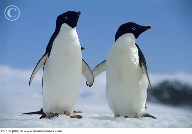 Ad  233 lie penguin pictures Albatross Images Cute Adelie Penguin