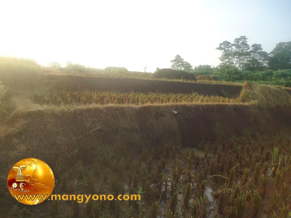 FOTO : Panen padi 5 – Setelah tanaman padi  dipotongi lalu dikumpulkan untuk dirontokan dengan cara manual.