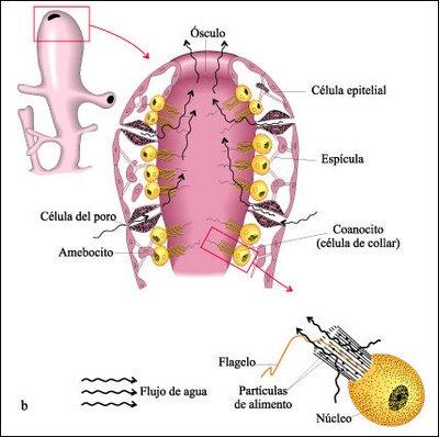 Esponjas: Anatomía