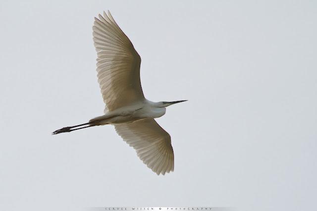 Deze grote zilverreiger lijkt een groot litteken op de borst te hebben - This Great White Egret seems to have a big scar on its chest