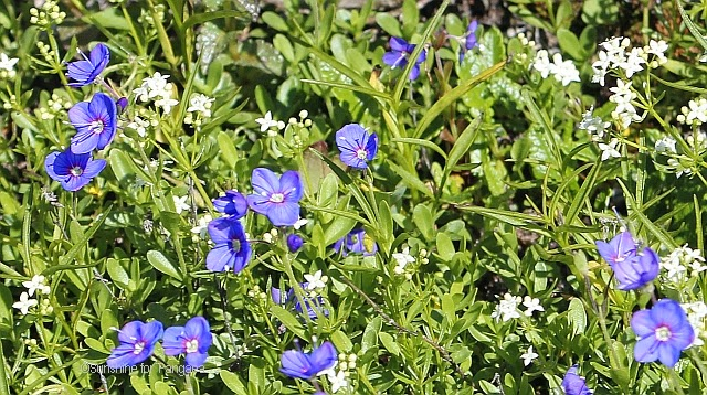 Veronica fruticans rock speedwell in the Alps