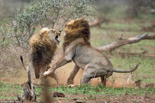 Лапы льва картинки