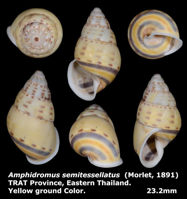 Amphidromus semitessellatus 23.2mm