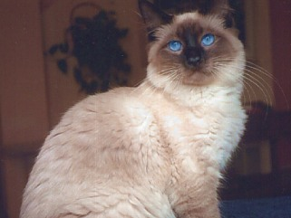 Funny Balinese Cat