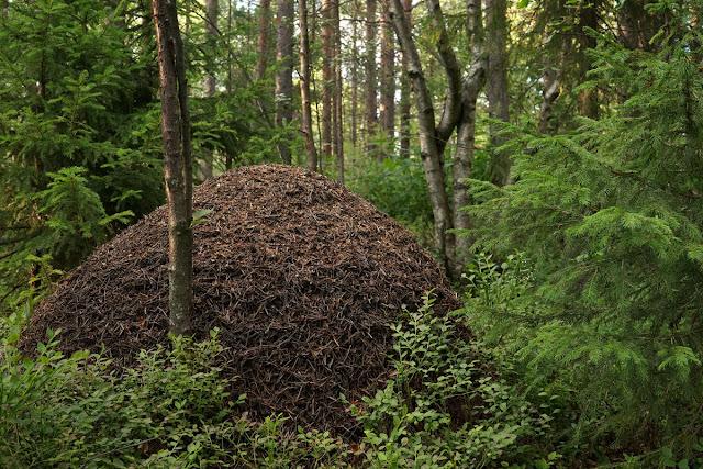 Гигантский муравейник в лесу.