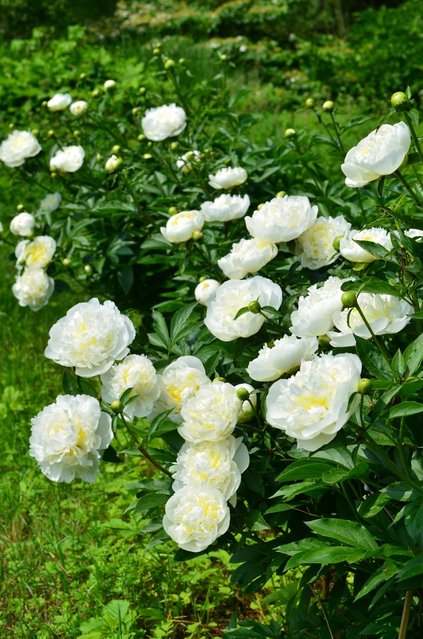 Flower hill farm herbaceous peonies throughout the gardens for Flower hill farms