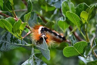 Orange caterpillar eating leaves