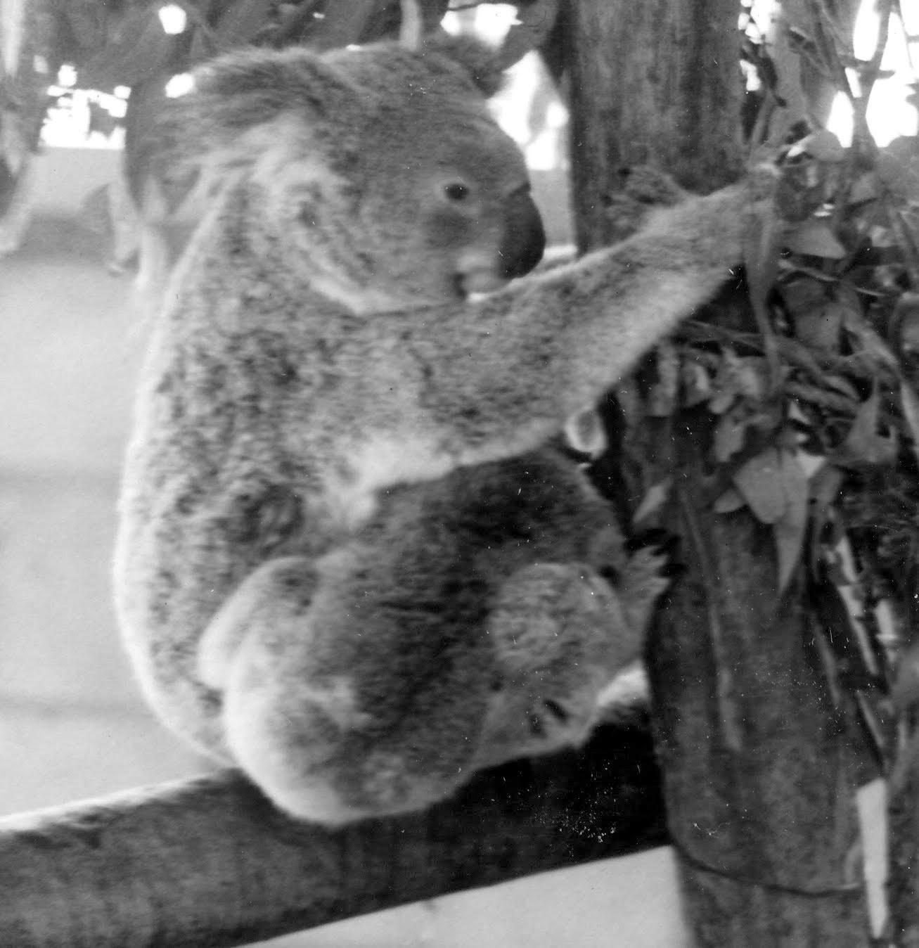 Do koalas spank pics