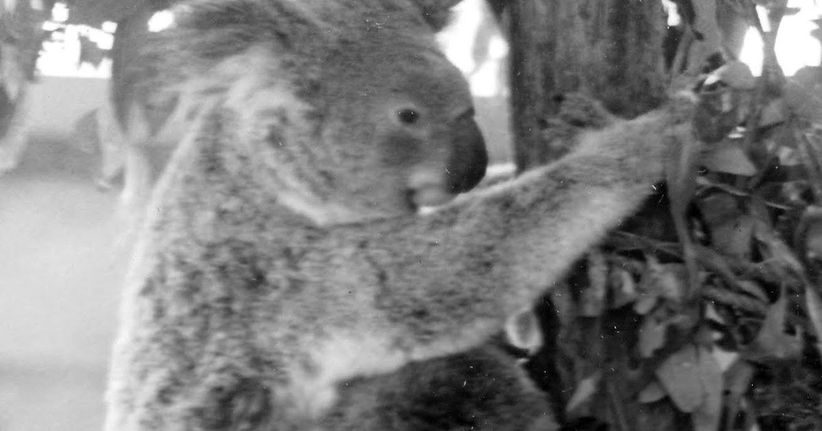 Do koalas spank pics 404