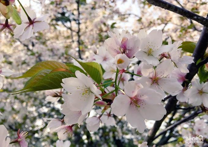 Cerisiers. Jardin japonais du parc Ôhori, Fukuoka