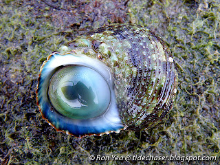 Ribbed Turban Snail (Turbo intercostalis)