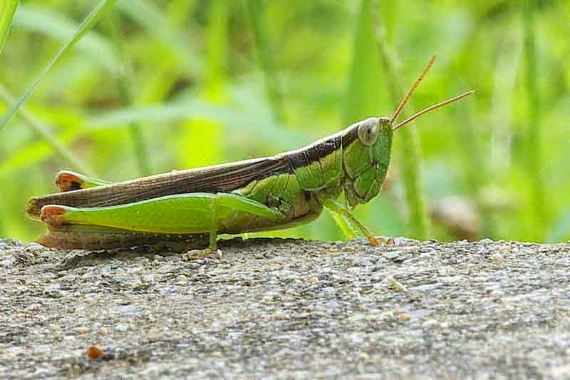 grasshopper,locust,unidentified