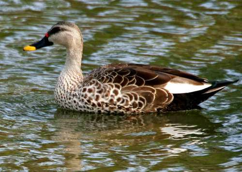 Indian birds - Spot-billed duck - Anas poecilorhyncha