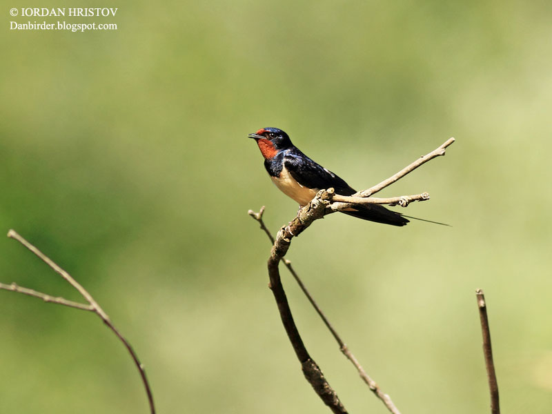 Barn Swallow photography
