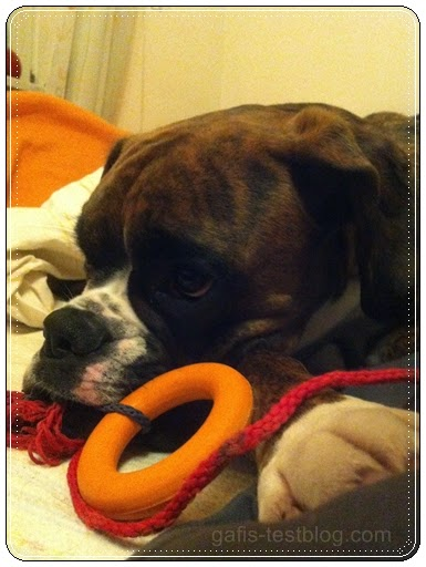 Boxer Amy beim chillen