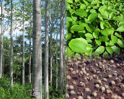 hutan tanaman