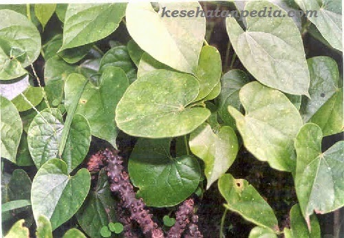 manfaat tanaman brotowali