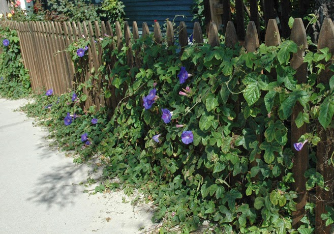 Lila purpurvinda har klätt in ett staket.