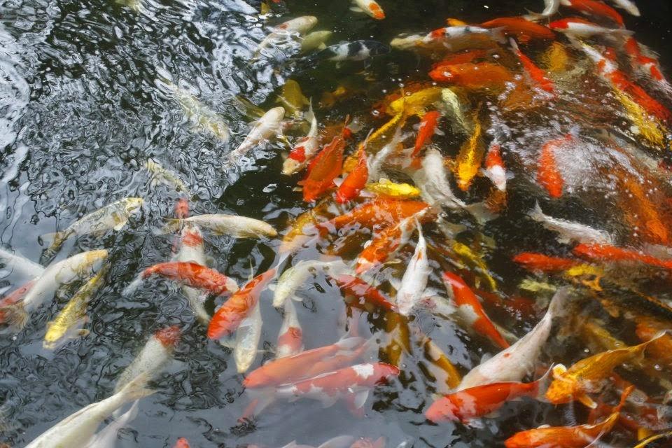 Sandari batulao july 2012 open house in sandari batulao for Lucky koi fish