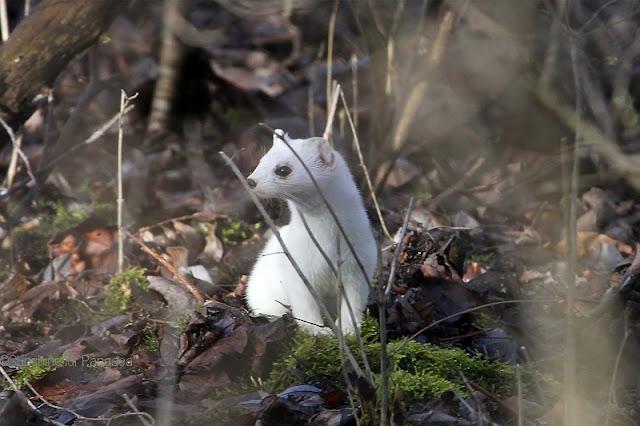 Hermelin mit Winterfell