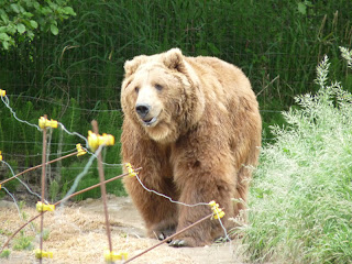 Kyk net hier dis die kodiak alaska brown bear is hy nie te pragtig