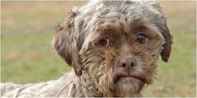 Gambar Anjing Berwajah Seperti Manusia