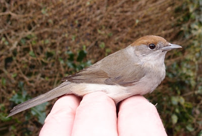female Blackcap (Sylvia atricappila)