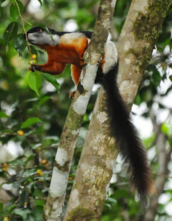 Prevost's Squirrel (Callosciurus prevostii)