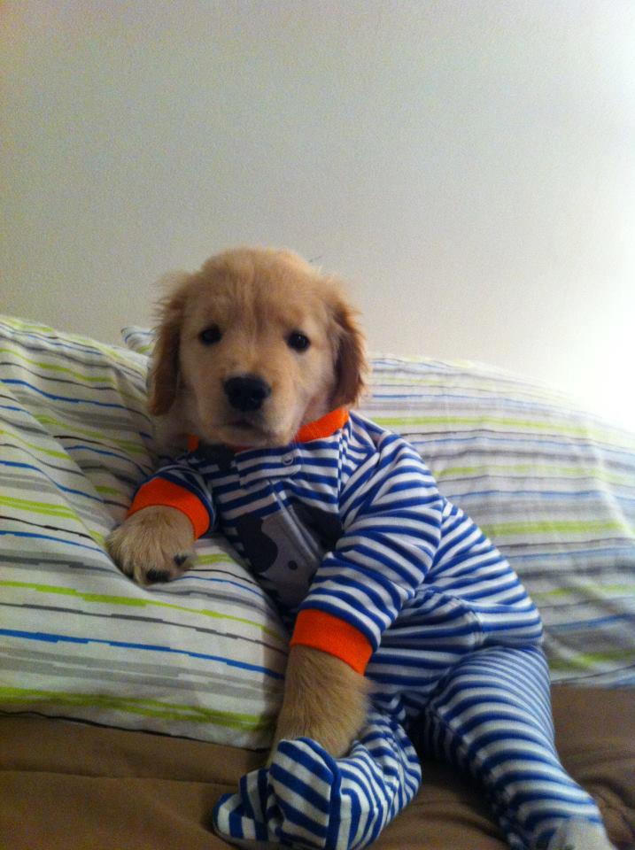 Cute Lab Puppy in Footie Pajamas! | Kittens Puppies and Cupcakes ...
