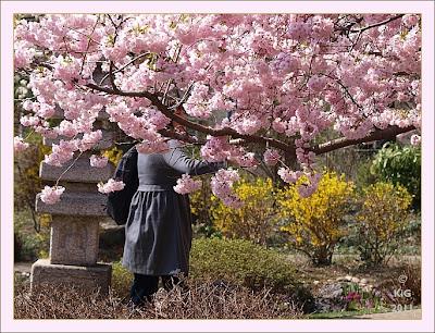 Frau vor japanischer Blütenkirsche (Verehrung)