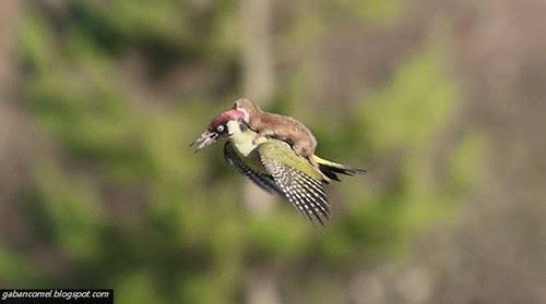 Foto Musang Menunggang Burung Woodpecker Menggemparkan Media Sosial
