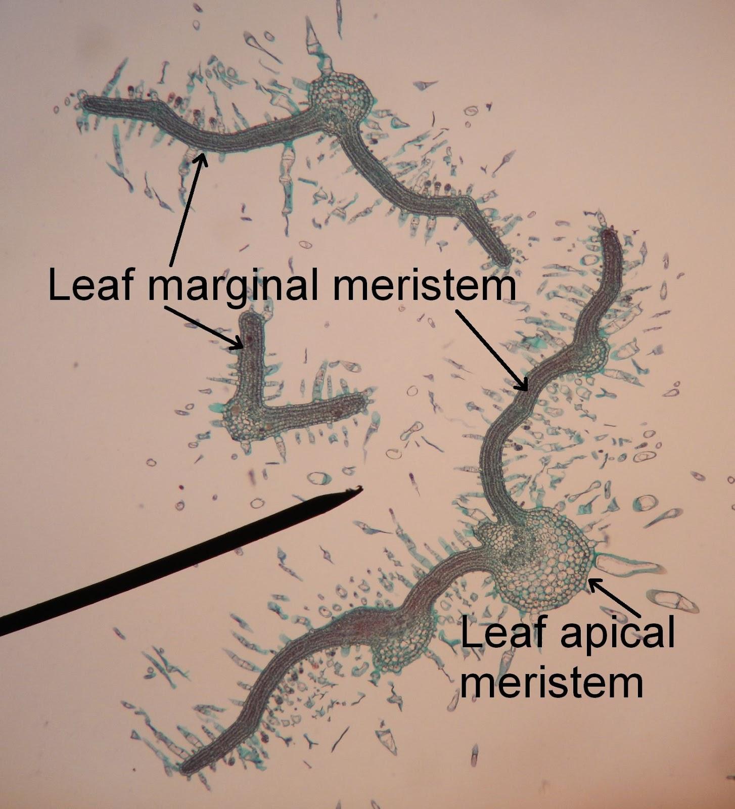 Bio Geo Nerd: Leaf Anatomy