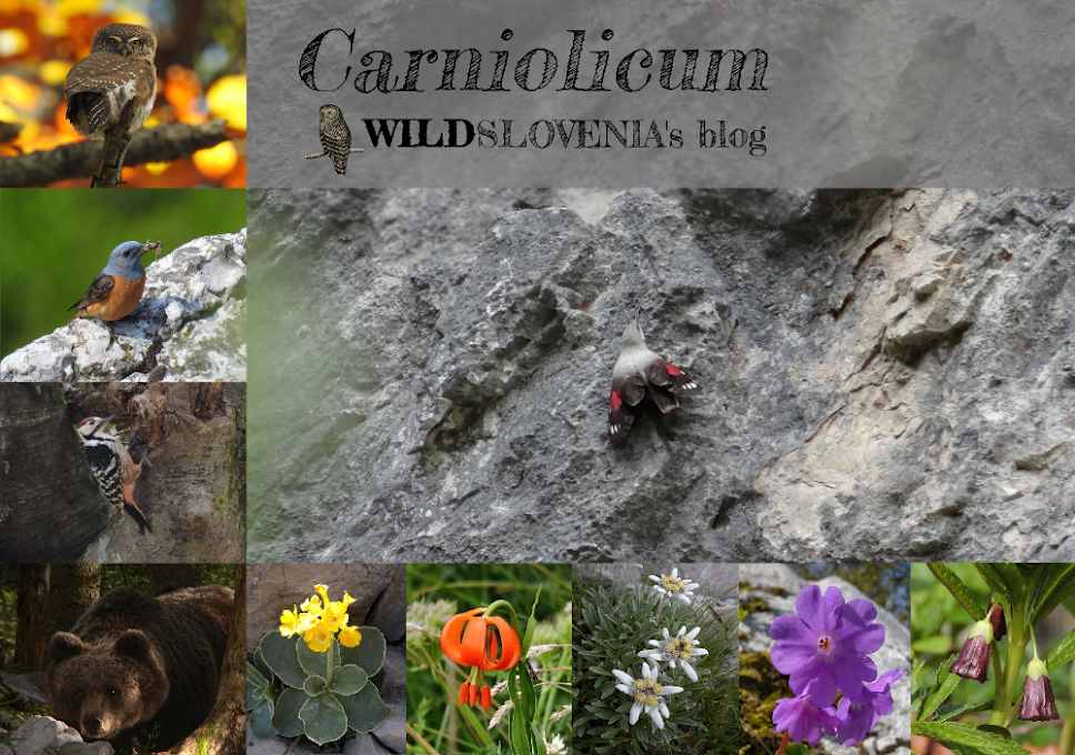 Carniolicum - birding & wildlife in Slovenia; the blog of WildSlovenia