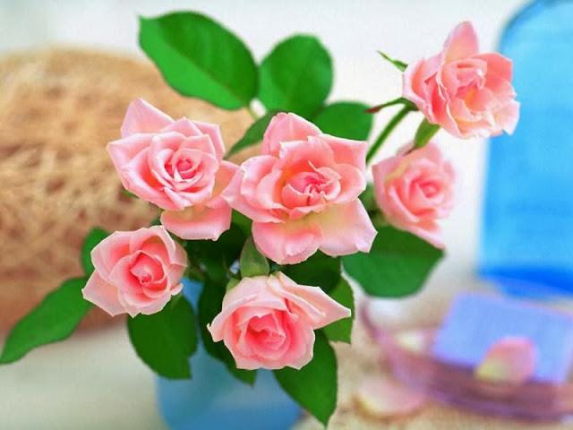 Pink Rose Wallpapers Free Download