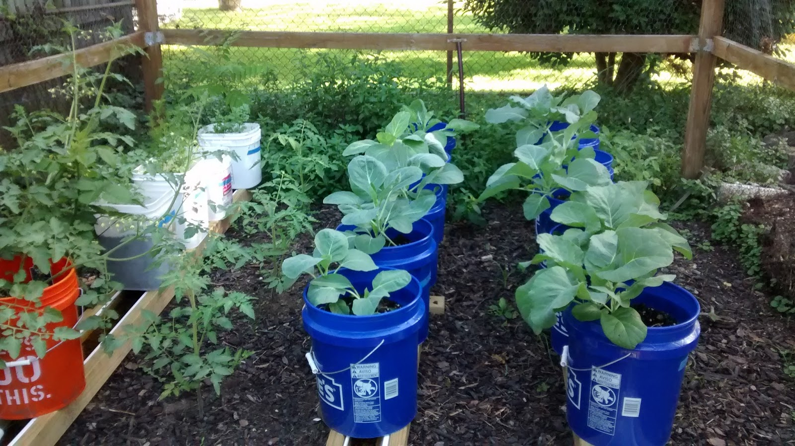 Those Are Collards In The Blue Buckets, My Ketchup And Tomatoes Plant In  The Orange Bucket (which Has Cherry Tomatoes On Top And Potatoes Growing In  The ...