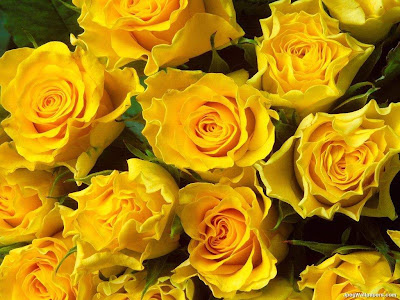 Yellow Roses5