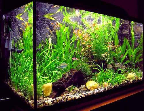 Fish tank aquariums ornamental aquarium fish for Ornamental fish tank