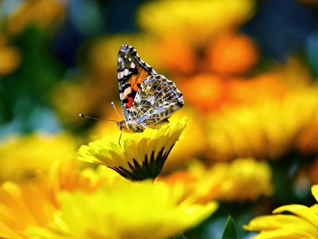 """<img src=""""http://4.bp.blogspot.com/-BaDOqXZNP-Q/UtrsG6yQ_bI/AAAAAAAAI6A/Pv35F4f7MY0/s1600/butterfly-on-yellow-flower.jpeg"""" alt=""""butterfly on yellow flower"""" />"""