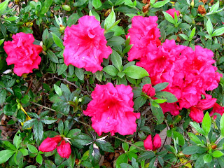 Early Azaleas in the front yard