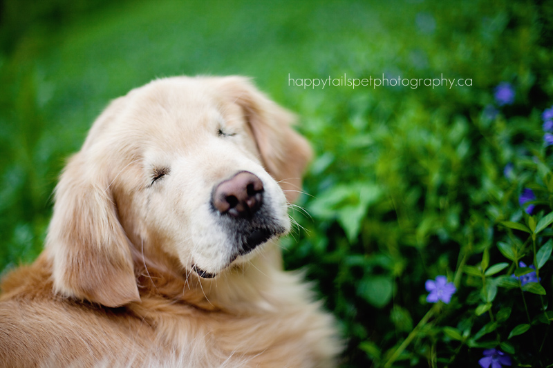 Blind Golden Retriever Smiley Burlington Pet Photographer - Born blind smiley the golden retriever becomes a loving therapy dog
