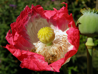 Red Poppy Blossom and Green Pod