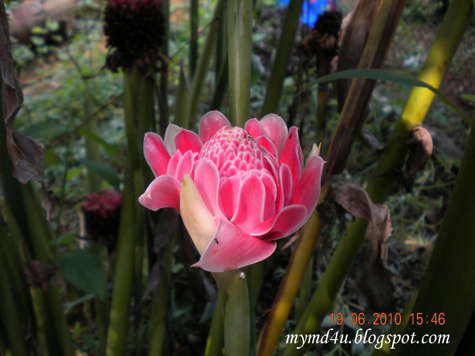 Bunga Kantan - Cantik Dimata,Enak Dimakan.