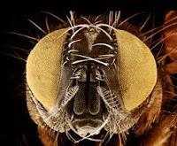 ojos de mosca