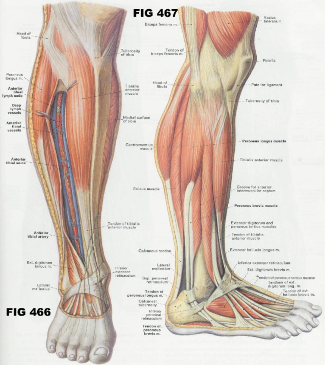 Leg Anatomy - Learning Shortcuts | Grays Integrative Physiology