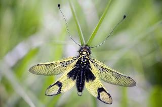 Para ampliar Libelloides longicornis hacer clic