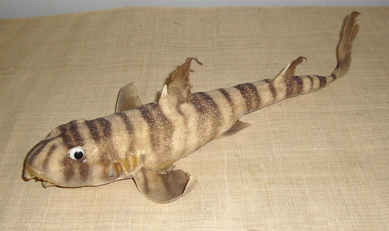 What are some facts about the zebra bullhead shark?