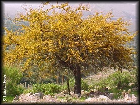 Especies chilenas el espino acacia caven for Poda de arboles zona sur