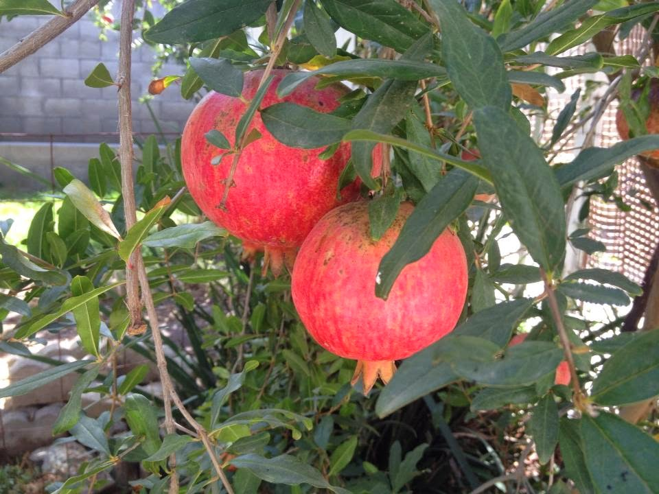Pomegranate trees are heat and drought tolerant.