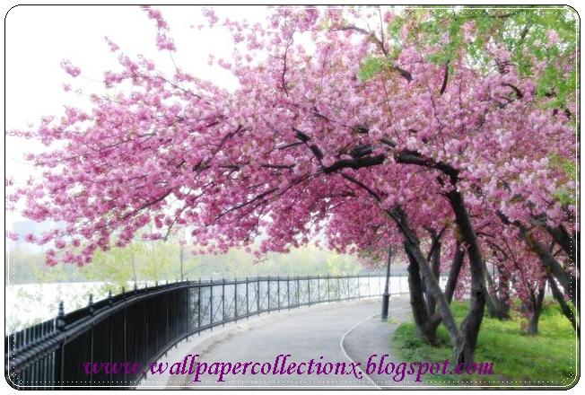Wallpapercollectionx Cherry Blossom Tree